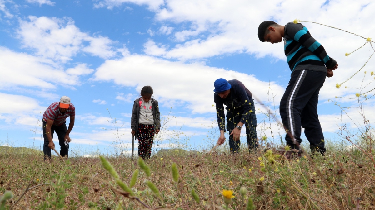 Dağlık arazide ellerinde sopalarla arıyorlar! Halkın geçim kaynağı oldu