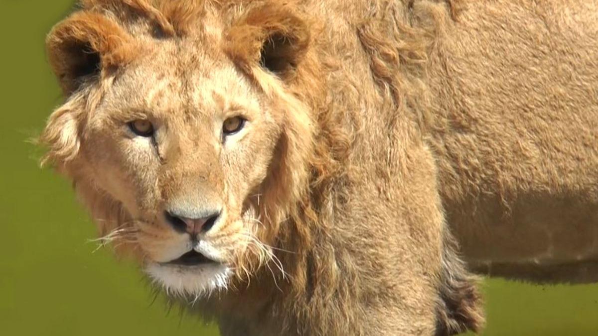 Cumhurbaşkanı Erdoğan'a hediye edilen aslanlardan güzel haber! Yıl sonuna doğru yavru verecekler