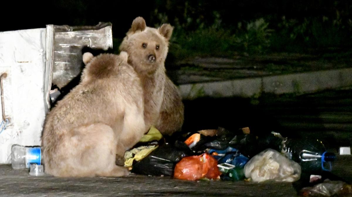 Aç kalan boz ayılar şehir merkezine indi, karınlarını doyurma çabaları tebessüm ettirdi