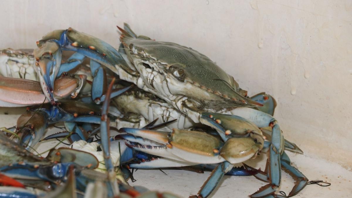 Balıkçıların korkulu rüyasıydı, şimdi ihraç ediliyor