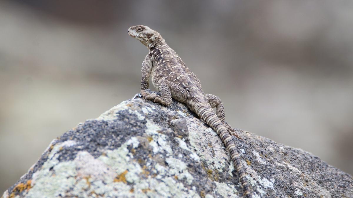 Doğada en zor görülen türlerden! Iğdır'da görüntülendi