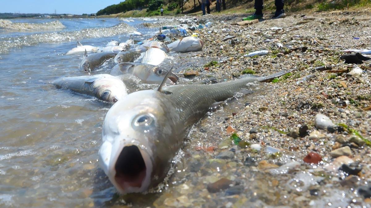 Küçükçekmece Gölü'nde binlerce ölü balık kıyıya vurdu!