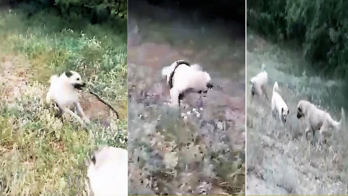 3 kangal ile yılanın amansız mücadelesi!