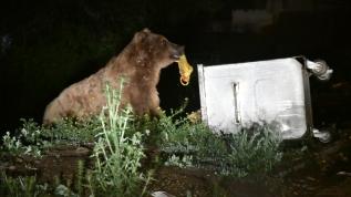 Yerleşim yerlerine indiler, çöp konteynerinden beslenip ormana döndüler!