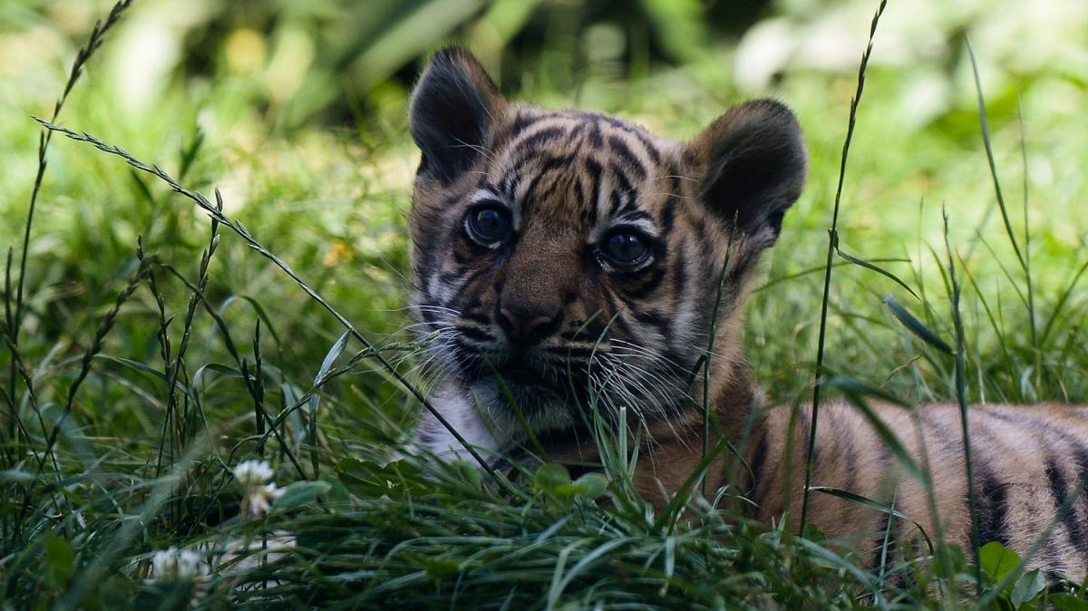 Dünya genelinde sayısı 400 ile 500 arasında: Sumatra kaplanlarına yeni üye!