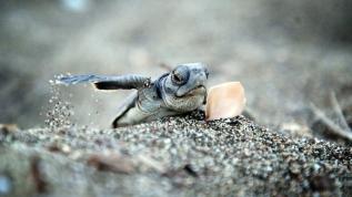 Yavru deniz kaplumbağalarının zorlu yaşam mücadelesi