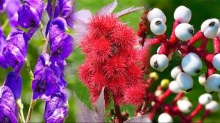 İşte dünyanın en ölümcül bitkileri
