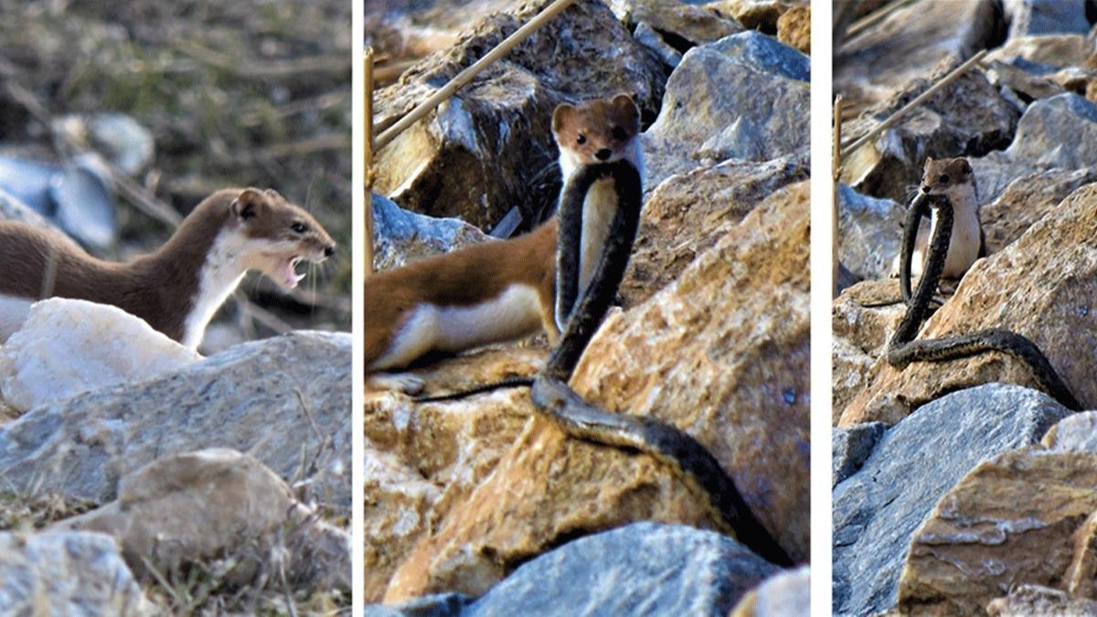 Gelincik 2 metrelik dev yılanı saniyeler içerisinde böyle avladı