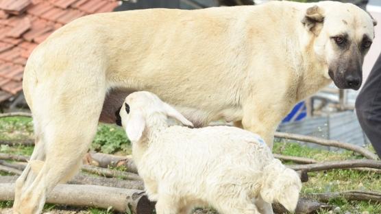 Görenler hayret ediyor! Çoban köpeği kuzuyu emziriyor