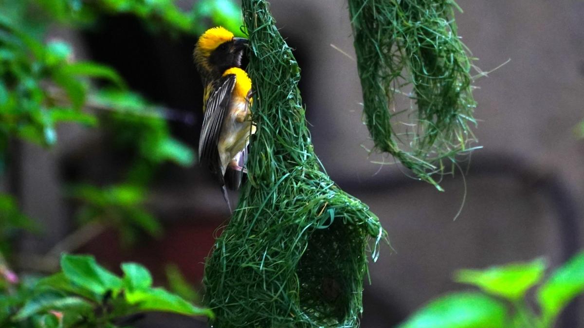 Dokumacı kuşların yuva yapma sanatı