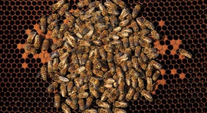 Toplu arı ölümleri...