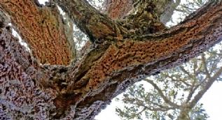 Delik deşik olmuş ağaç şaşkınlık içinde bıraktı