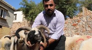 4 boynuzlu koyun şoke etti!