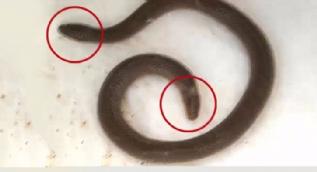 İki başlı yılan görenleri şoke etti