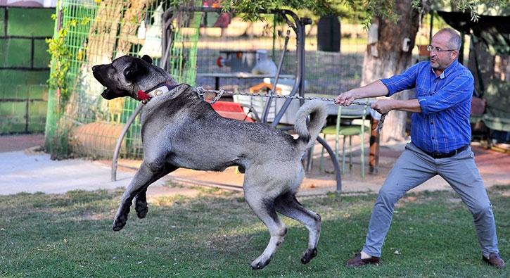 200 bin liralık kangalın yavruları için sıraya girdiler