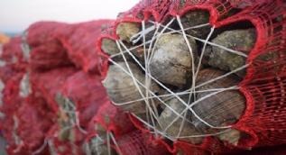 Salyangoz, Karadenizli balıkçıların gelir kaynağı oldu